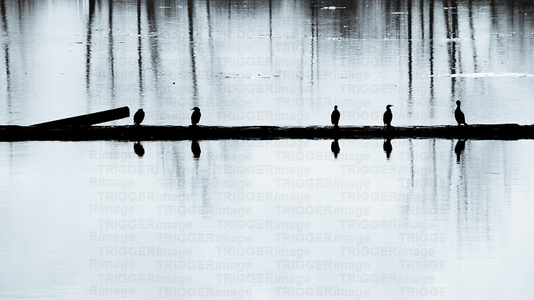 Five birds sitting on a log in icy waters with reflections of trees.