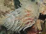 Kenting, Taiwan -- Feather duster worm (Protula magnifica)