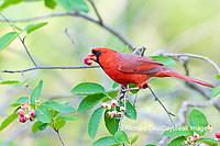 01530-23017 Northern Cardinal (Cardinalis cardinalis) male eating Serviceberry (Amelanchier canadensis) Marion Co. IL