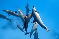 School of spinner dolphins (scientific name: Stenella longirostris), mamal, off Hamata coast, Egypt, Red Sea.