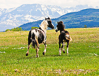 Blackfeet horses. Mare and colt.