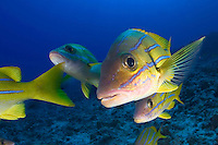 Bluestripe snapper, Lutjanus kasmira, were introduced to Hawaii in 1958 with the thought that they may become a food source.  Hawaii.