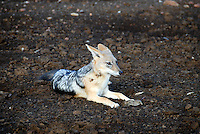 The black-backed jackal (Canis mesomelas), also known as the silver-backed or red jackal, is a species of jackal which inhabits two areas of the African continent separated by roughly 900 km. One region includes the southern-most tip of the continent, including South Africa, Namibia, Botswana, and Zimbabwe. The other area is along the eastern coastline, including Kenya, Somalia, and Ethiopia.