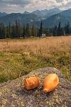Oscypki na Rusinowej Polanie, Tatry, Polska<br /> Oscypki on Rusinowa Glade, Tatra Mountains, Poland