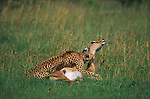 A cheetah explodes in a burst of speed and ambushes a pregnant impala in Kenya's Mara River region.