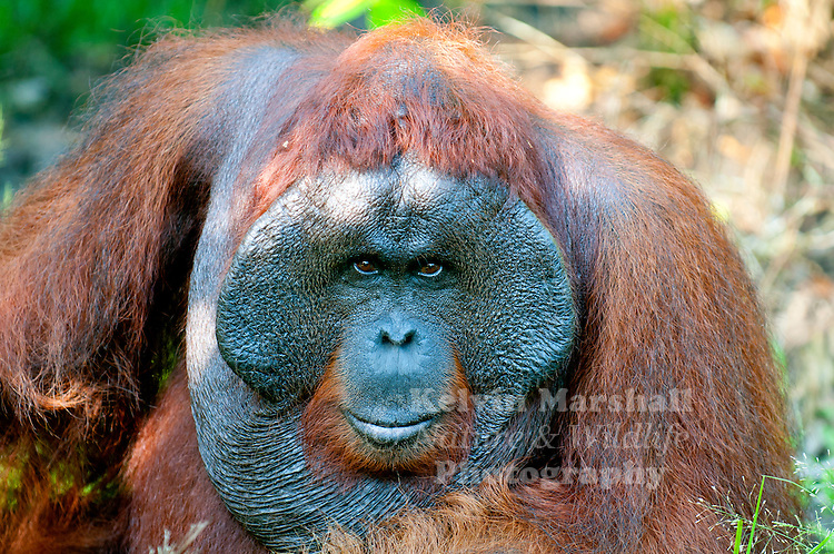 Bornean Male Orangutan (Pongo pygmaeus) - Tanjung Puting National Park, Central Kalimantan Indonesia.