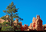 Ponderosa Pine and Hoodoos, Fairyland Canyon, Bryce Canyon National Park, Utah