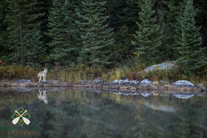 &quot;Wild Wolf in Quetico&quot;<br />
