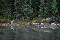 """Wild Wolf in Quetico""<br />
