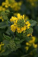 Mustard Flower