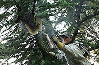 A swarm has settled on a pine tree near Nimes, France, and has started building combs. It was lucky to survive a mild winter. Located ina private garden, this swarm has grown into a full beehive.