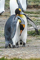 A pair of King Penguins on Tierra Del Fuego seemingly embrace one another in friendship.