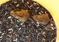 Wood mice (Apodemus sylvaticus) in a bin of black sunflower seeds.