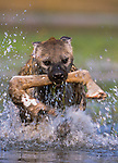 Spotted hyena runs with giraffe leg through marsh, Okavango Delta, Botswana