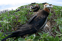 great frigatebirds, Fregata minor, Lisianski, Papahanaumokuakea Marine National Monument, Northwestern Hawaiian Islands, Hawaii, USA, Pacific Ocean