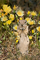 679513006 whitetail antelope squirrel ammospermophilus leucurus leucurus feeds in front of wildflwower display in joshua tree national park san bernardino county california united states