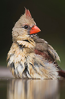 northern cardinal, Cardinalis cardinalis, female bathing, Rio Grande Valley, Texas, USA, North America