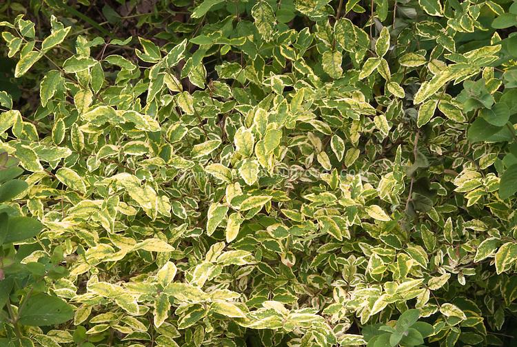 Symphoricarpus orbiculatus 'Foliis Variegatis'