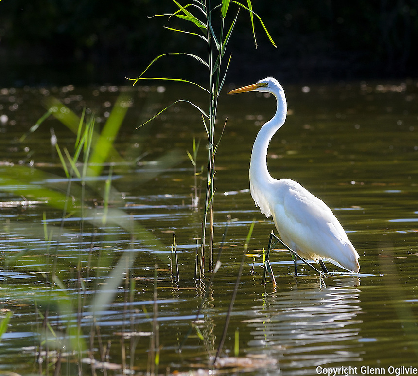 Egret hunting for food in Lake Chipican located at Canatara Park