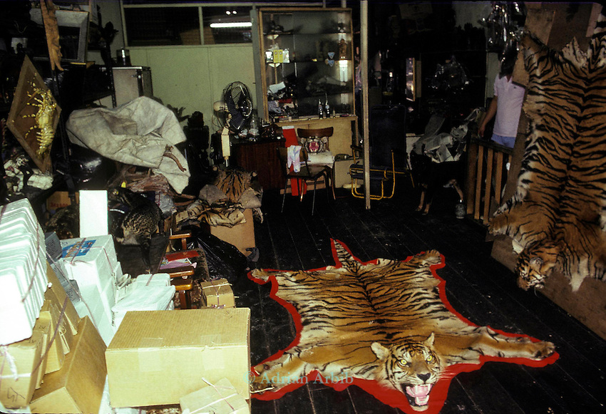 Sumatran Tiger  skins in a Singapore skin  trader's shop.  .This man claimed that he could supply 15 skins a month  which  effectively would wipe out  the entire Sumatran Tiger population.