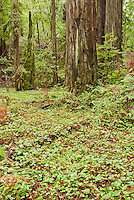Long-tailed ginger, Asarum caudatum, redwood sorrel, Oxalis oregana, and coast redwood, Sequoia sempervirens, in Big Hendy Grove, Hendy Woods State Park, California