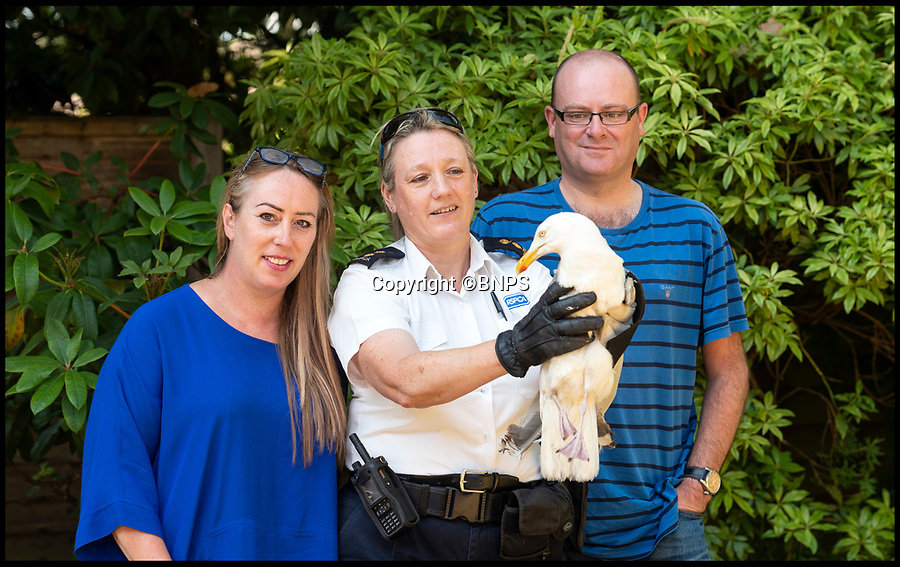 BNPS.co.uk (01202 558833)<br /> Pic:   RogerArbon/BNPS<br /> <br /> The lucky gull about to be released by RSPCA inspector Jo Story (centre), with Elizabeth and Lee Baron who first discovered the injured bird.<br /> <br /> A seagull that miraculously survived being shot with an arrow has today been released back into the wild after being saved by the RSPCA.<br /> <br /> The male gull was left skewered by the 28ins long arrow fired from a high-powered crossbow, possibly by an angry homeowner fed-up with the nuisance birds.<br /> <br /> The metal arrow went right through the gull's body and somehow missed its vital organs.<br /> <br /> And when vets X-rayed it they realised the bird had been doubly lucky as they found a pellet in its body from where it had been previously shot with an air rifle.