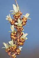 Sanddorn, Sand-Dorn, Blüten, Hippophae rhamnoides, Sea Buckthorn, sea-buckthorn, Argousier, Saule épineux