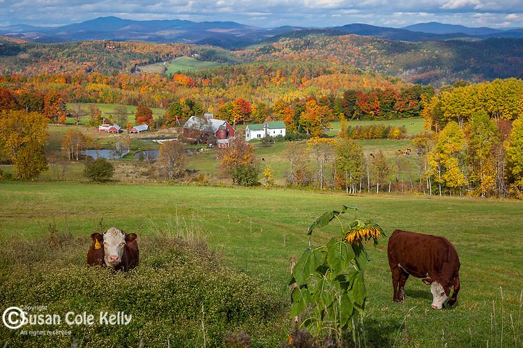 Cows grazing and farmland in Barnet, Northeast Kingdom, VT