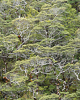 Native beech forest in Arthur's Pass, Arthur's Pass National Park, Canterbury, South Island, New Zealand, NZ