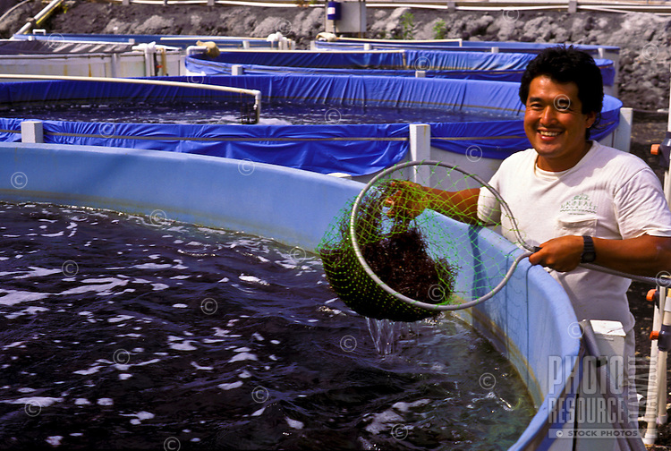 Limu (seaweed) grower; Keahole Point Natural Energy Laboratory, Kailua-Kona, Big Island of Hawaii.