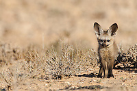 Frontal view of Bat-eared fox pup standing