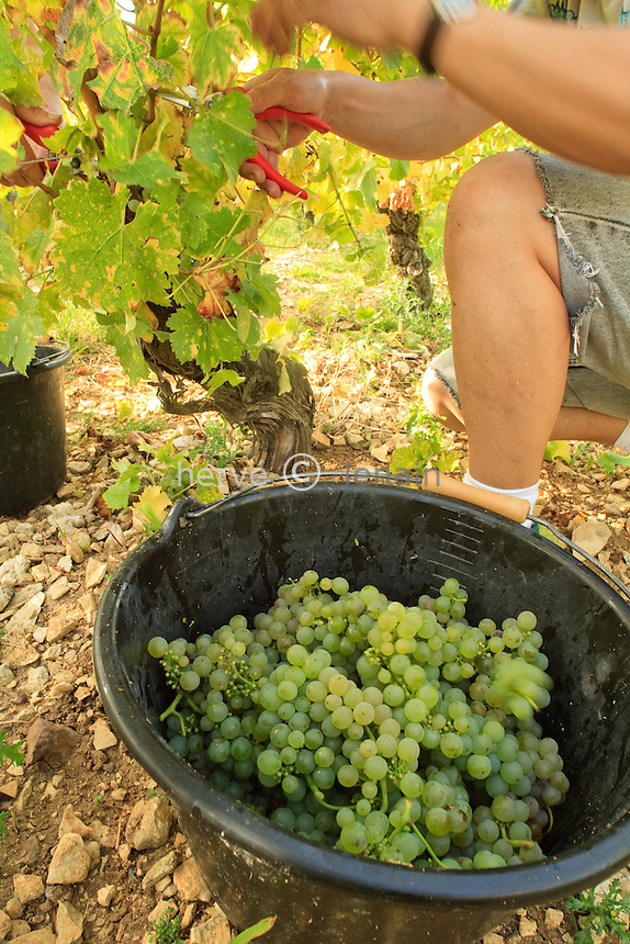 France, Cher (18), région du sancerrois, Bué, vendange des vignes de cépage sauvignon en A.O.C Sancerre du Domaine Lucien Crochet à Bué. C'est une des plus grosse équipe de vendangeurs du sancerrois avec ± 45 personnes // France, Cher, Sancerre region, Bué, harvest of sauvignon vines in AOC Sancerre from Domaine Lucien Crochet to Bue. This is one of the largest team of pickers of Sancerre with ± 45 people