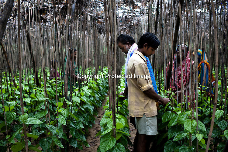 43-year-old Suresh Kumar Dash's family helps him on his betel leaf farm in village Dhinkhia, in Orissa, India. Proposed steel project would displace all families of this village so they are determined not to leave their soil. If the plant is constructed, the villagers from Dhinkia will be the first ones to be displaced.