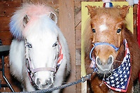 Patriotic-themed miniature horses stand in a barn during a campaign event for satirical presidential candidate Vermin Supreme at Ten Rod Farm in Rochester, New Hampshire. Supreme's platform advocates a pony-based economy, using zombies to solve the energy crisis, and other outlandish ideas. Supreme has been on the New Hampshire primary ballot in 2008 and 2012, though he has began running for president in 1992. Vermin Supreme will be on the Democratic party ballot in the 2016 New Hampshire primary.