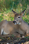 White-tailed deer (Odocoileus virginianus) bedded