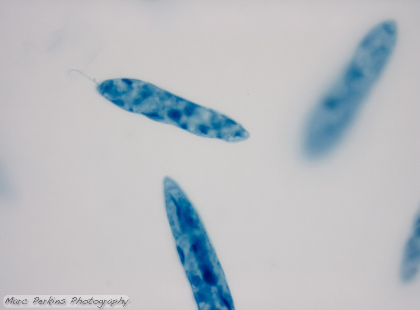 A preserved slide of Euglena showing three cells at 1,000x.  Euglena are flagellates, and a single flagellum can be seen emerging from one of the cells.  This slide has been artificially stained, so you can't tell that the cells would be green normally.