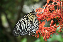 August 9, 2016 / Magic Wings Butterfly Conservatory / South Deerfield, MA / Shown:  Rice Paper /  Photo by Bob Laramie