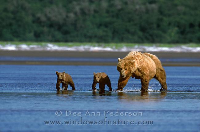 Sow coastal brown bear with spring cubs along the oceans edge of the Alaska Peninsula.