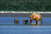 Sow coastal brown bear with spring cubs along the oceans edge of the Alaska Peninsula.