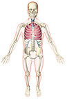 A superior anterior view of the respiratory system relative to the skeleton. The surface anatomy of the body is transparent and tinted red. Royalty Free