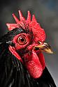 23/11/12 - MONTLUCON - ALLIER - FRANCE - Concours National Avicole de Montlucon. Coq Pekin noir. Eleveur Dominique Wald - Photo Jerome CHABANNE