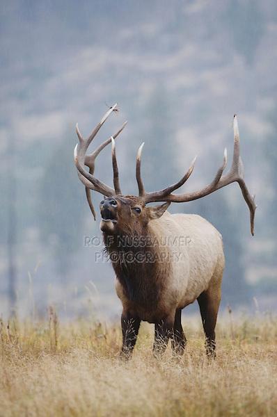 Elk, Wapiti, Cervus elaphus, bull calling, bugling,  Yellowstone NP,Wyoming, September 2005