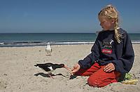 Mädchen, Kind füttert Austernfischer am Strand aus der Hand, Austern-Fischer, Haematopus ostralegus, Oystercatcher, Huîtrier pie