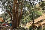 Israel, Upper Galilee. White Poplar trees near Kerem Ben Zimra