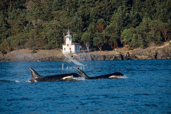 Orca Whales or killer whales (Orcinus orca) swimming past small lighthouse in San Juan Islands.