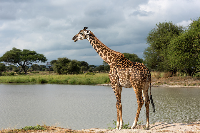 A giraffe cautiously approaches a watering hole for a drink.  Giraffes are quite vulnerable to predators when bending down to drink, and they will frequently pause for many minutes before taking a drink.