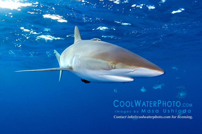 silky shark, .Carcharhinus falciformis, .Hawaii (Pacific).