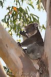A Koala (Phascolarctos cinereus) appears to be thumbing its nose, Kangaroo Island, Australia.