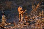 African wild hunting dog, Kwando Reserve, Botswana