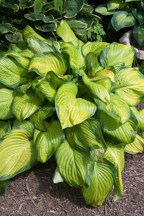 Hosta Stained Glass 2006 Hosta of the Year, with variegated gold yellow center, perennial foliage plant for shade gardens, showing entire plant habit growing